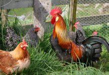rooster-1362355.jpg